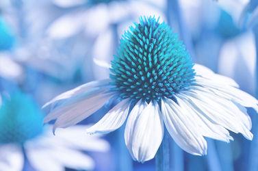 Bild mit Natur,Blumen,Blau,Türkis,Blume,Pflanze,Makro,Blumen und Pflanzen,Flora,Blüten,blüte,zinnien,sonnenhut,sonnenhut,rudbeckia,Deko,dekorativ,Dekoration,korbblüter,sommerblumen,sommerwiese