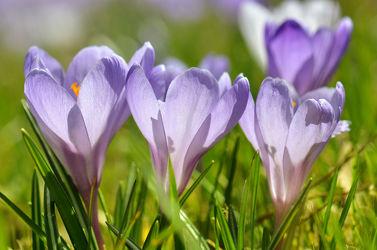 Bild mit Natur, Grün, Blumen, Lila, Violett, Frühling, Blume, Makro, Gras, Wiese, Blumen und Pflanzen, Flora, frühlingsblumen, Blüten, garten, blüte, Krokusse, detail, Krokus, blumenwiese
