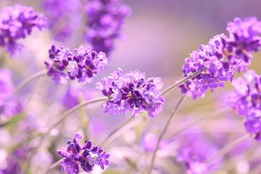 Bild mit Natur, Blumen, Lila, Lavendel, Blau, Makroaufnahme, Blume, Pflanze, Makro, Blumen und Pflanzen, Flora, Blüten, garten, blüte, nahaufnahme, macro, detail, Deko, Dekoration, Gewächs, Botanik, Lavendelblüten, sommerblume