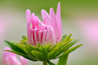 Bild mit Grün, Blumen, Rosa, Sommer, Blume, Makro, Margeriten, Margerite, Blumen und Pflanzen, Flora, blüte, pink, dekorativ, sommerblumen