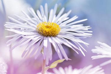 Bild mit Gelb, Blumen, Frühling, Blau, Sommer, Makroaufnahme, Blume, Makro, Wiese, Margeriten, Margerite, Blumen und Pflanzen, Flora, Blüten, blüte, pink, Deko, dekorativ