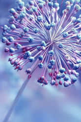 Bild mit Natur, Blumen, Lila, Violett, Blau, Makroaufnahme, Blume, Makro, Blumen und Pflanzen, Flora, Blüten, blüte, detail, Deko, allium, Verblüht, kugelblume, Zierlauch, Sternblüte, kugelblumen, sterndolde, verblühen