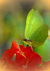 Bild mit Tiere, Natur, Blumen, Insekten, Sommer, Schmetterlinge, Tier, Blume, Elfe, Fauna, Blüten, Schmetterling, blüte, Nektar, Deko, dekorativ, Tagfalter, Falter, Insekt, beauty, Dekoration, Zitronenfalter