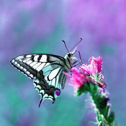 Bild mit Tiere, Natur, Pflanzen, Lila, Insekten, Sommer, Schmetterlinge, Tier, Blume, Pflanze, Schmetterling, blüte, pink, Falter, Insekt, Naturschutz, Pause, schwalbenschwanz