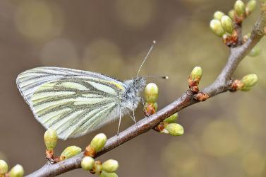 Bild mit Gelb, Tiere, Frühling, Insekten, Braun, Schmetterlinge, Blätter, Tier, Makro, Blatt, Schmetterling, Tagfalter, Insekt, Zweig