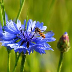 Bild mit Tiere, Natur, Grün, Pflanzen, Blumen, Insekten, Blau, Sommer, Tier, Blume, Pflanze, Makro, Fauna, Flora, blüte, Insekt, Kornblume, Schwebfliege