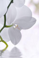 Bild mit Natur, Pflanzen, Blumen, Orchideen, Blume, Orchidee, Orchid, Pflanze, Makro, Entspannung, Spiegelung, Blumen und Pflanzen, Flora, Wellness, blüte, Deko, dekorativ, Dekoration, Wasserspiegelung, orchideenblüte