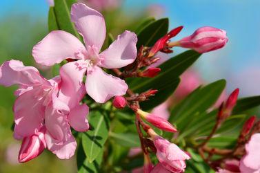 Bild mit Natur, Pflanzen, Himmel, Blumen, Rosa, Sommer, Blätter, Makroaufnahme, Blume, Pflanze, Makro, Blumen und Pflanzen, Flora, oleander, garten, blüte, nahaufnahme, pink, dekorativ
