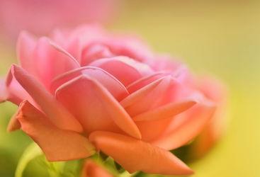 Bild mit Blumen, Rosa, Blume, Rose, Makro, Blumen und Pflanzen, Flora, Blüten, blüte, pink, Wildrose, wildrosen