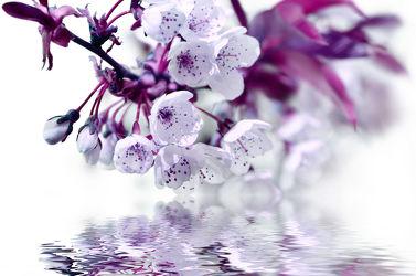 Bild mit Blumen, Weiß, Lila, Violett, Frühling, Blume, Makro, Spiegelung, Blumen und Pflanzen, blüte, Zweige, Wasserspiegelung, Zweig, baumblüte, frühlingsblüte