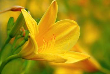 Bild mit Gelb, Natur, Grün, Blumen, Sommer, Makroaufnahme, Blume, Makro, Schnittblume, Lilie, Lilien, Blumen und Pflanzen, Flora, Blüten, blüte, detail, dekorativ, liliaceae, lillium