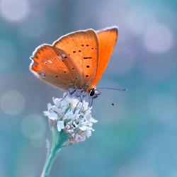 Bild mit Tiere, Insekten, Blau, Schmetterlinge, Makro, Schmetterling, Falter, Insekt, kleiner, feuerfalter