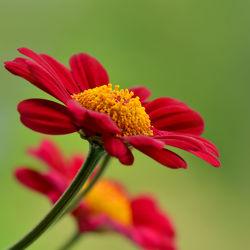 Bild mit Grün, Pflanzen, Blumen, Frühling, Rot, Sommer, Blume, Makro, Margeriten, Margerite, Gartenblumen, blüte, schnittblumen