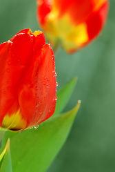 Bild mit Grün, Blumen, Frühling, Rot, Blume, Tulpe, Tulpen, Wassertropfen, Tropfen, Flora, frühlingsblumen, blüte