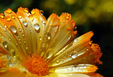 Bild mit Natur, Blumen, Blume, Pflanze, Wassertropfen, Regentropfen, Tropfen, Tropfen, ringelblume, Wellness, blüte, Tau, beauty, Tautropfen, blühen, calendula, goldblume
