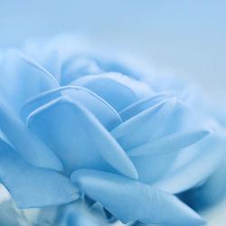 Bild mit Natur, Pflanzen, Blumen, Frühling, Blau, Sommer, Blume, Pflanze, Rose, Makro, Flora, Blüten, blüte, zart