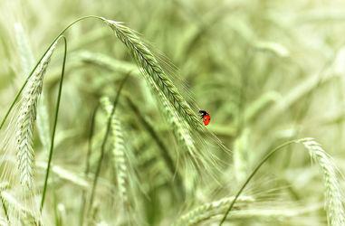 Bild mit Tiere, Natur, Insekten, Tier, Feld, Felder, Marienkäfer, Insekt, Kornfeld, Korn, Käfer