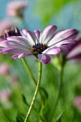 Bild mit Natur, Grün, Pflanzen, Blumen, Sommer, Makroaufnahme, Blume, Pflanze, Makro, Margerite, Gartenblumen, garten, blüte, nahaufnahme, pink, sommerblumen, Mageriten