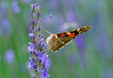 Bild mit Tiere, Natur, Blumen, Lavendel, Sommer, Kräuter, Blume, Makro, Blüten, Schmetterling, blüte, nahaufnahme, Falter, Insekt, distelfalter