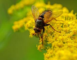 Bild mit Tiere, Insekten, Fliegen, Fliegen, Makroaufnahme, Blume, Makro, garten, blüte, Insekt, Fliege, facettenauge, nektarsuche, schwebefliege, schwebefliegen