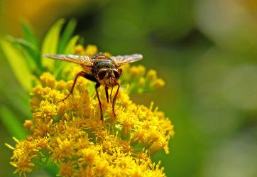 Bild mit Gelb, Tiere, Insekten, Fliegen, Fliegen, Makroaufnahme, Blume, Makro, garten, blüte, Insekt, Fliege, facettenauge, nektarsuche, schwebefliege, schwebefliegen