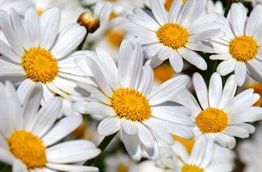 Bild mit Natur, Pflanzen, Blumen, Frühling, Sommer, Makro, Wiese, Margeriten, Margerite, Gartenblumen, garten, blüte, beauty, schnittblumen