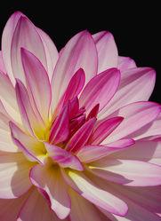 Bild mit Natur,Pflanzen,Blumen,Dahlien,Blume,Pflanze,Flora,Blüten,blüte,Deko,dekorativ,Dahlie,Botanik,dahlienblüte