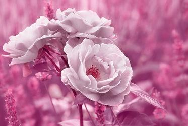 Bild mit Natur, Pflanzen, Blumen, Rosa, Rosen, Sommer, Blume, Rose, Makro, Flora, Blüten, garten, blüte, nahaufnahme, pink, Wildrose, wildrosen