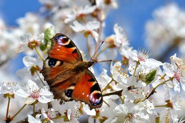 Bild mit Tiere, Natur, Jahreszeiten, Blumen, Frühling, Insekten, Schmetterlinge, Blume, Makro, Blüten, Schmetterling, blüte, nahaufnahme, Insekt, Jahreszeit, edelfalter, baumblüte, frühlingsblüten, frühlingsblüte, pfauenauge