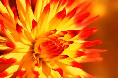 Bild mit Gelb, Pflanzen, Blumen, Rot, Dahlien, Makroaufnahme, Blume, Makro, Flora, Blüten, blüte, Dahlie, dahlia