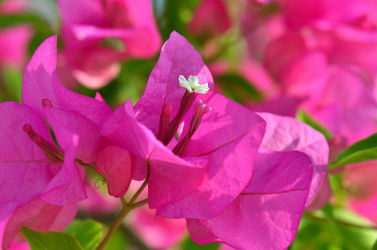 Bild mit Natur, Grün, Pflanzen, Blumen, Rosa, Sommer, Blume, Pflanze, Makro, Flora, Blüten, blüte, pink, Busch, drillingsblume