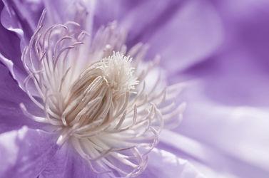 Bild mit Pflanzen, Blumen, Lila, Sommer, Blume, Pflanze, Makro, Flora, Blüten, Makros, Makroaufnahmen, blüte, Clematis