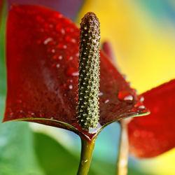 Bild mit Pflanzen, Blumen, Rot, Blume, Pflanze, Wassertropfen, Regentropfen, Tropfen, Blüten, blüte, Anthurium, Flamingoblume, anthurie