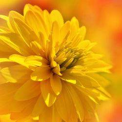 Bild mit Gelb, Pflanzen, Blumen, Dahlien, Blume, Pflanze, Makro, Blüten, Makros, blüte, Dahlie