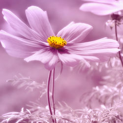 Bild mit Pflanzen, Blumen, Rosa, Sommer, Blume, Pflanze, cosmea, Blüten, blüte, pink