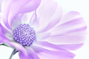 Bild mit Natur, Pflanzen, Blumen, Lila, Violett, Sommer, Blume, Pflanze, Makro, cosmea, Makros