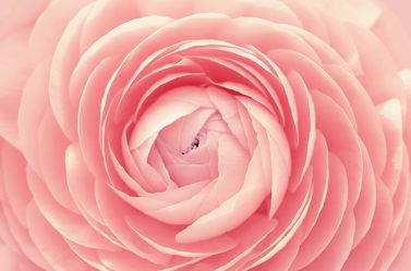 Bild mit Natur, Pflanzen, Blumen, Rosa, Frühling, Sommer, Blume, Pflanze, Pflanze, Rose, ranunkeln, Blüten, blüte, Ranunkel