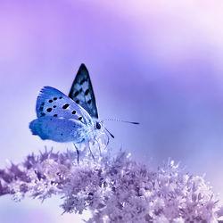 Bild mit Tiere, Blumen, Lila, Violett, Insekten, Blau, Schmetterlinge, Tier, Blume, Schmetterling, Insekt