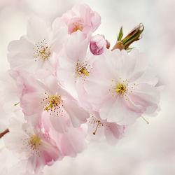 Bild mit Natur, Pflanzen, Blumen, Blumen, Rosa, Frühling, Pflanze, Kirschblüten, Blüten, blüte, pastell