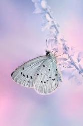 Bild mit Tiere, Rosa, Insekten, Sommer, Schmetterlinge, Tier, Kinderbild, Kinderbilder, Kinderzimmer, Schmetterling, butterfly, Falter, Insekt
