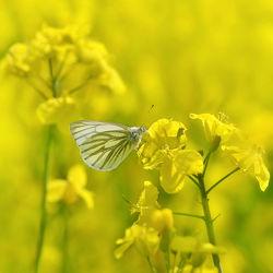 Bild mit Tiere, Natur, Insekten, Sommer, Schmetterlinge, Raps, Tier, Schmetterling, Insekt, Rapsfeld