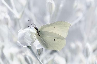 Bild mit Tiere, Weiß, Insekten, Schmetterlinge, Tier, Wiese, Elfen, Elfe, Schmetterling, garten, butterfly, Insekt, Zitronenfalter, Elfenwald
