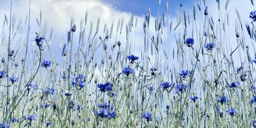 Bild mit Natur, Pflanzen, Blumen, Blau, Panorama, Blume, Flora, Kornblume, Kornfeld, Kornblumen