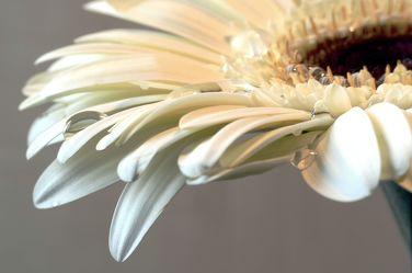Bild mit Natur, Blumen, Blume, Makro, Margeriten, Margerite, Tropfen, Blüten, Makros, Makroaufnahmen, blüte