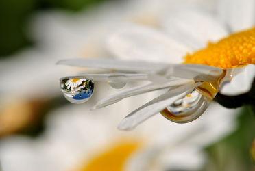 Bild mit Natur, Blumen, Blume, Makro, Wassertropfen, Regentropfen, Margeriten, Margerite, Tropfen, Blüten, Makros, Makroaufnahmen, blüte