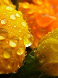 Bild mit Blumen, Makroaufnahme, Blume, Makro, Wassertropfen, Regentropfen, Tropfen, Blüten, Makros, Makroaufnahmen, blüte