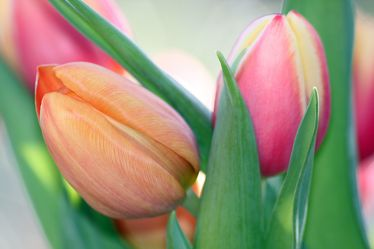 Bild mit Blumen, Frühling, Tulpe, Tulpen, edel, zart, Frühlingserwachen, pastell, blumig, frühlingsbild