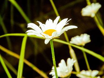 Bild mit Pflanzen, Blumen, Blume, Blume, Margeriten, Margerite