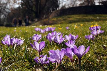 Bild mit Pflanzen, Blumen, Frühling, Blume, Pflanze, Wiese, Blüten, blüte, Krokusse, Krokus