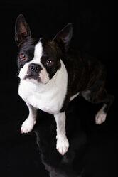 Bild mit Tiere, Hunde, Tier, Hund, Dog, Bulldogge, Boston Terrier, Haustier, Tierportrait, Dogge, Hundeportrait
